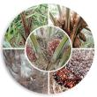 Oil Palm Disease Management